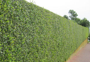 hedge-cutting-maintenance-battersea